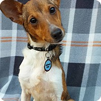 Parson Russell Terrier/Rat Terrier Mix Dog for adoption in Charlotte, North Carolina - Bleu