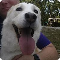 Shiba Inu Mix Dog for adoption in Springfield, Missouri - Miles
