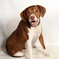 Adopt A Pet :: Rocky BeagleMix - St. Louis, MO