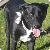 Adopt A Pet :: Tux Old soul mellow gentle - Sacramento, CA