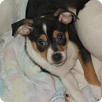 Adopt A Pet :: Nick - Garland, TX