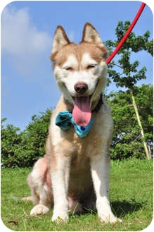 Husky Mix Dog for adoption in Vancouver, British Columbia - Alaska - Pending