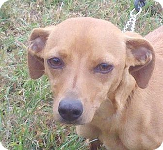 Dachshund Mix Dog for adoption in Harrisonburg, Virginia - Sophia ($75 off)