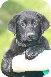 Labrador Retriever Mix Puppy for adoption in Russellville, Kentucky - Reagan