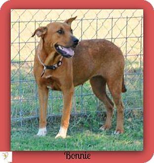 Labrador Retriever/Shepherd (Unknown Type) Mix Dog for adoption in Eddy, Texas - Bonnie