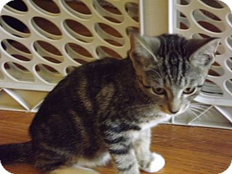 Domestic Shorthair Kitten for adoption in Bensalem, Pennsylvania - Tucker