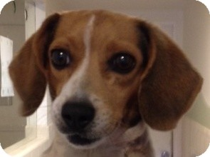 Beagle Dog for adoption in Canoga Park, California - Noel