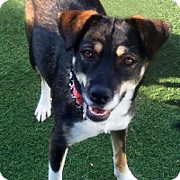 Adopt A Pet :: Sani: Enthusiastic Forever Friend - Newport Beach, CA