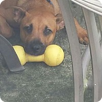 Black Mouth Cur Mix Dog for adoption in METAIRIE, Louisiana - Drake