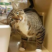 Domestic Shorthair Cat for adoption in McKinney, Texas - Summer
