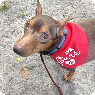Miniature Pinscher Mix Dog for adoption in Coral Springs, Florida - Cody