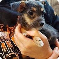 Adopt A Pet :: Scout - Santa Rosa, CA