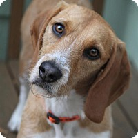 Adopt A Pet :: Buster the Beagle - Wayne, NJ