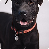 Adopt A Pet :: Chip - Portland, OR