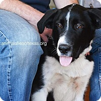 Hound (Unknown Type)/Border Collie Mix Puppy for adoption in Garland, Texas - Hondo