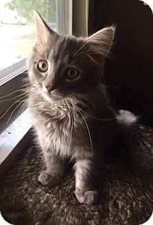 Domestic Shorthair Kitten for adoption in Columbus, Ohio - Elliot