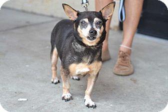 Chihuahua/Dachshund Mix Dog for adoption in Acworth, Georgia - Diamond