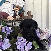 Adopt A Pet :: Candy - Jacksonville, TX