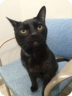 Domestic Shorthair Cat for adoption in Wayne, Pennsylvania - Elvis