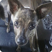 Chihuahua Dog for adoption in Los Angeles, California - Molly