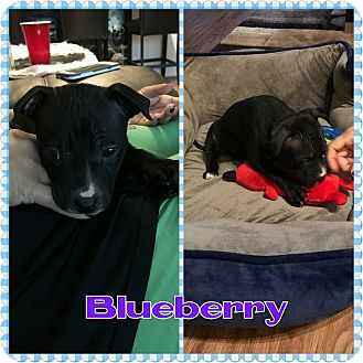 Labrador Retriever/American Staffordshire Terrier Mix Puppy for adoption in bridgeport, Connecticut - Blueberry