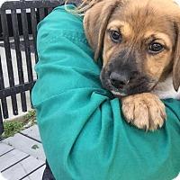 Adopt A Pet :: Chestnut - Glendale, OH