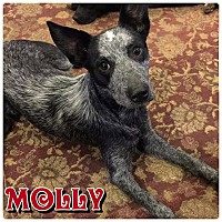 Adopt A Pet :: Molly - Charlotte, NC
