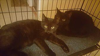 American Shorthair Kitten for adoption in Griffin, Georgia - Onyx