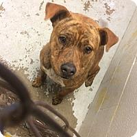 Adopt A Pet :: Lea Michele - Jersey City, NJ