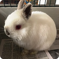 Adopt A Pet :: Pigwidgeon - Edinburg, PA