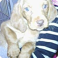Adopt A Pet :: Snowman - River Falls, WI