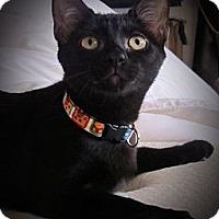 Adopt A Pet :: Bacall - Seminole, FL