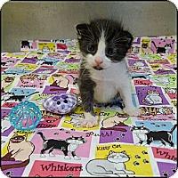 Adopt A Pet :: Pistachio - Miami, FL