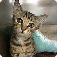 Adopt A Pet :: Sable - Stafford, VA