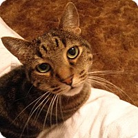 Domestic Shorthair Cat for adoption in Watkinsville, Georgia - Mo