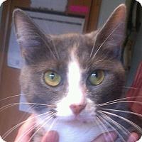 Calico Cat for adoption in Wayzata, Minnesota - Lizzy