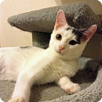Domestic Shorthair Cat for adoption in Fitchburg, Wisconsin - Ishka