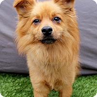 Adopt A Pet :: Miles - Redondo Beach, CA