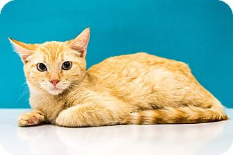Domestic Shorthair Kitten for adoption in Chandler, Arizona - Lucy