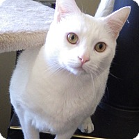 Domestic Shorthair Cat for adoption in Quail Valley, California - Lolo