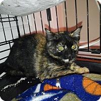 Domestic Shorthair Kitten for adoption in Mount Laurel, New Jersey - Poppy