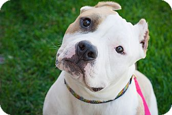Pit Bull Terrier Mix Dog for adoption in Fort Collins, Colorado - Rae (FORT COLLINS)