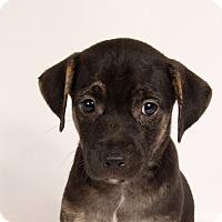 Adopt A Pet :: Sally CatahoulaMix - St. Louis, MO