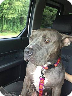 American Pit Bull Terrier Dog for adoption in Greensboro, North Carolina - Scupper