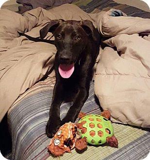 Labrador Retriever/Boxer Mix Dog for adoption in Alva, Oklahoma - Lucy 1427