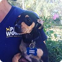 Adopt A Pet :: Sandy - Thousand Oaks, CA