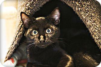 Domestic Shorthair Cat for adoption in Lincoln, Nebraska - Sierra