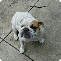 Adopt A Pet :: Shera - Columbus, OH
