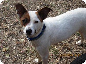 Jack Russell Terrier/Feist Mix Dog for adoption in Oswego, New York - SASSIE