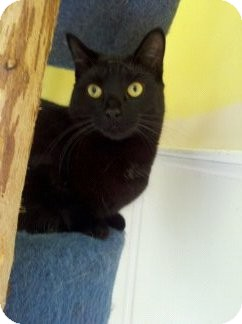 Domestic Shorthair Cat for adoption in Richboro, Pennsylvania - Lasagna
